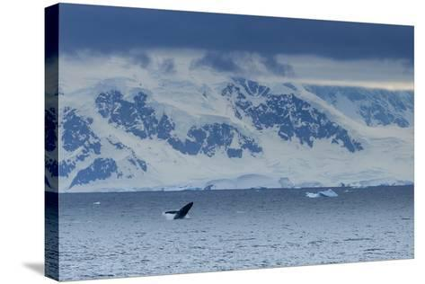 A Humpback Whale Exhibiting Breaching Behavior Near Cuverville Island, Antarctica-Ralph Lee Hopkins-Stretched Canvas Print