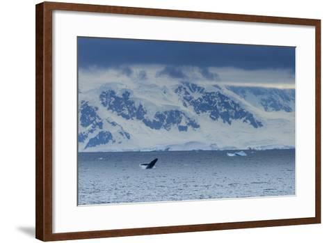 A Humpback Whale Exhibiting Breaching Behavior Near Cuverville Island, Antarctica-Ralph Lee Hopkins-Framed Art Print