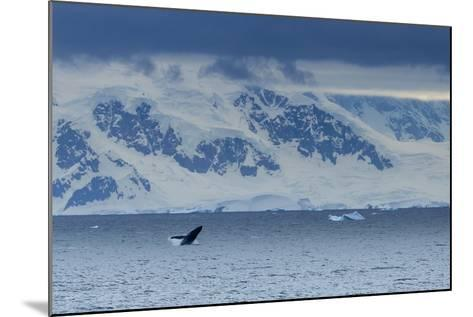 A Humpback Whale Exhibiting Breaching Behavior Near Cuverville Island, Antarctica-Ralph Lee Hopkins-Mounted Photographic Print
