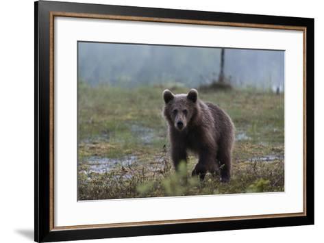 A Juvenile European Brown Bear, Ursus Arctos Arctos, Walking and Looking at the Camera-Sergio Pitamitz-Framed Art Print