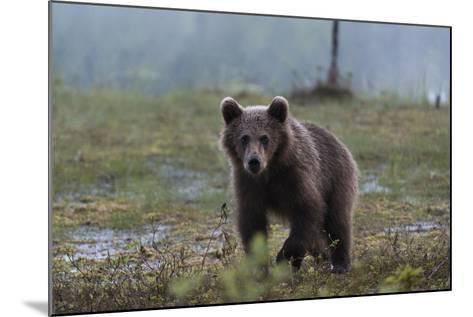 A Juvenile European Brown Bear, Ursus Arctos Arctos, Walking and Looking at the Camera-Sergio Pitamitz-Mounted Photographic Print