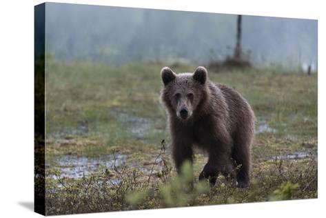 A Juvenile European Brown Bear, Ursus Arctos Arctos, Walking and Looking at the Camera-Sergio Pitamitz-Stretched Canvas Print