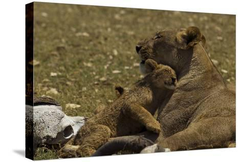 A Lion Cub Nuzzling its Mother Near an African Buffalo Skull-Beverly Joubert-Stretched Canvas Print