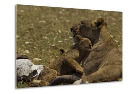 A Lion Cub Nuzzling its Mother Near an African Buffalo Skull-Beverly Joubert-Metal Print