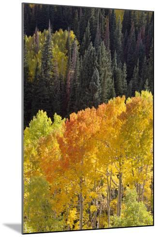Quaking Aspen Trees, Populus Tremuloides, Glow Brightly Among Green Conifers in a Mountain Valley-Robbie George-Mounted Photographic Print