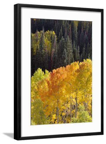 Quaking Aspen Trees, Populus Tremuloides, Glow Brightly Among Green Conifers in a Mountain Valley-Robbie George-Framed Art Print