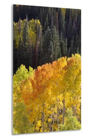 Quaking Aspen Trees, Populus Tremuloides, Glow Brightly Among Green Conifers in a Mountain Valley-Robbie George-Metal Print