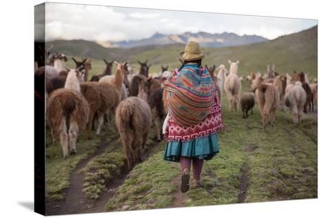 A Quechua Woman Herding Llamas, Alpacas, and Sheep Back to Town from Grazing in the Mountains-Erika Skogg-Stretched Canvas Print