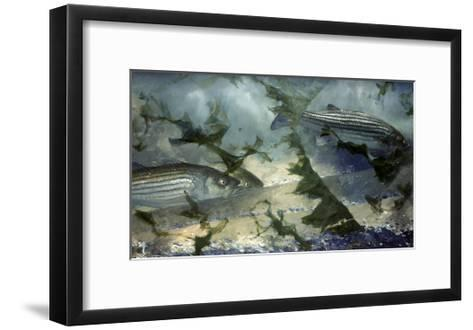 Eight Avenue Asbury, July 1966: Striped Bass Swim the Inshore Waters Off New Jersey's North Shore-Stanley Meltzoff-Framed Art Print