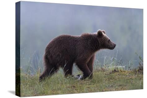 A Juvenile European Brown Bear, Ursus Arctos Arctos, Walking on a Lake Shore-Sergio Pitamitz-Stretched Canvas Print