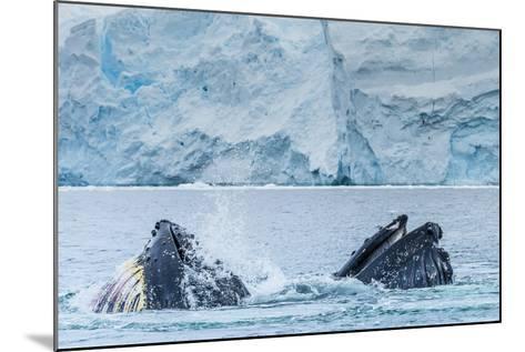 Humpback Whales Lunge Feeding Near Paradise Harbor, Antarctica-Ralph Lee Hopkins-Mounted Photographic Print