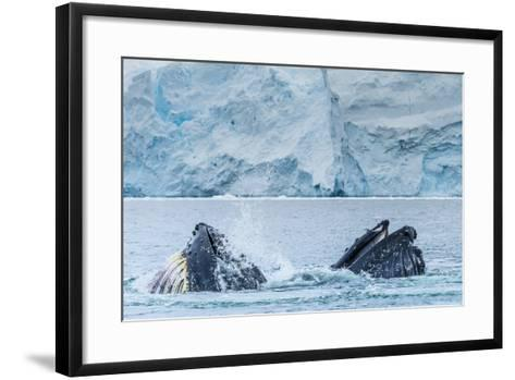 Humpback Whales Lunge Feeding Near Paradise Harbor, Antarctica-Ralph Lee Hopkins-Framed Art Print
