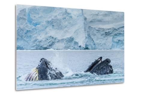 Humpback Whales Lunge Feeding Near Paradise Harbor, Antarctica-Ralph Lee Hopkins-Metal Print