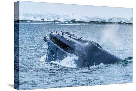 Humpback Whales Lunge Feeding Near Paradise Harbor, Antarctica-Ralph Lee Hopkins-Stretched Canvas Print