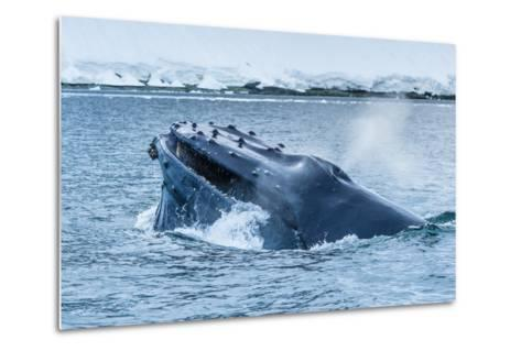 Humpback Whales Lunge Feeding Near Paradise Harbor, Antarctica-Ralph Lee Hopkins-Metal Print