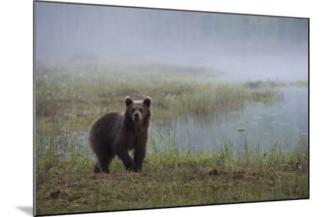 A Juvenile European Brown Bear, Ursus Arctos Arctos, Walking on a Lake Shore-Sergio Pitamitz-Mounted Photographic Print