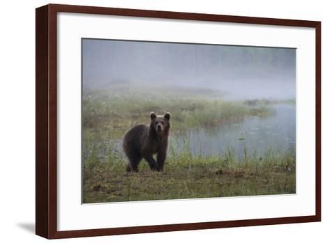 A Juvenile European Brown Bear, Ursus Arctos Arctos, Walking on a Lake Shore-Sergio Pitamitz-Framed Art Print