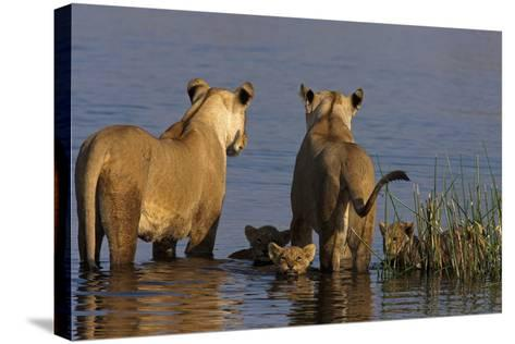 Lionesses Looking across a Spillway While Cubs Swim Between Them-Beverly Joubert-Stretched Canvas Print
