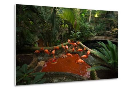 Caribbean Flamingos, Phoenicopterus Ruber, at the Dallas World Aquarium-Joel Sartore-Metal Print