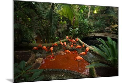 Caribbean Flamingos, Phoenicopterus Ruber, at the Dallas World Aquarium-Joel Sartore-Mounted Photographic Print