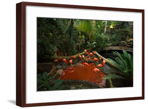 Caribbean Flamingos, Phoenicopterus Ruber, at the Dallas World Aquarium-Joel Sartore-Framed Art Print