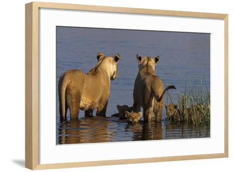 Lionesses Looking across a Spillway While Cubs Swim Between Them-Beverly Joubert-Framed Art Print