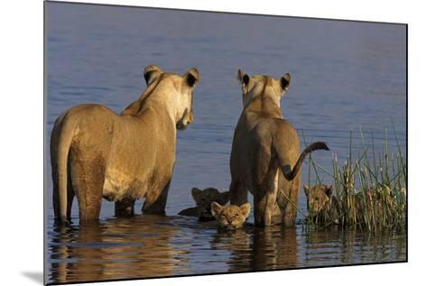 Lionesses Looking across a Spillway While Cubs Swim Between Them-Beverly Joubert-Mounted Photographic Print