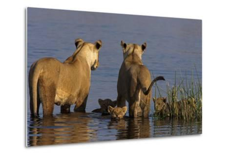 Lionesses Looking across a Spillway While Cubs Swim Between Them-Beverly Joubert-Metal Print