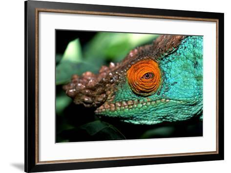 Close Up Portrait of a Male Parson's Chameleon, Callumma Parsonii-Cagan Sekercioglu-Framed Art Print