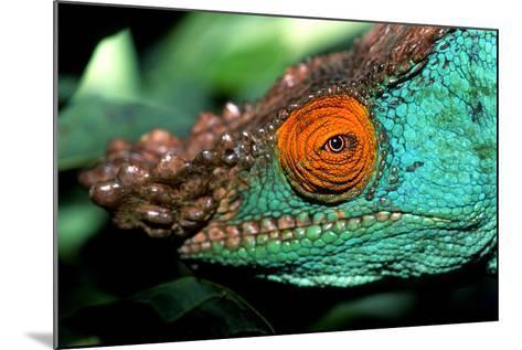 Close Up Portrait of a Male Parson's Chameleon, Callumma Parsonii-Cagan Sekercioglu-Mounted Photographic Print