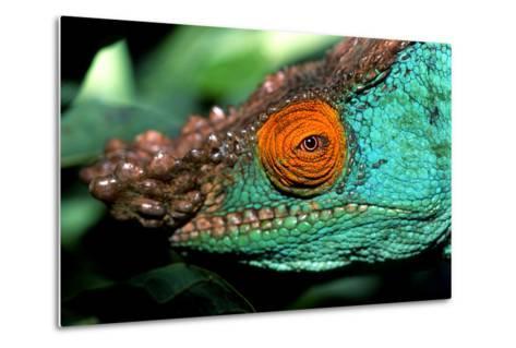 Close Up Portrait of a Male Parson's Chameleon, Callumma Parsonii-Cagan Sekercioglu-Metal Print