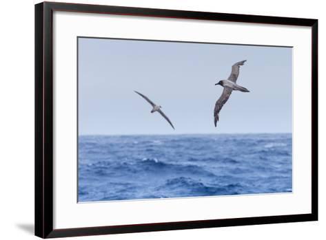Two Light-Mantled Albatross in Flight in the South Shetland Islands, Antarctica-Ralph Lee Hopkins-Framed Art Print
