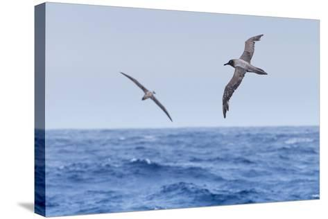 Two Light-Mantled Albatross in Flight in the South Shetland Islands, Antarctica-Ralph Lee Hopkins-Stretched Canvas Print
