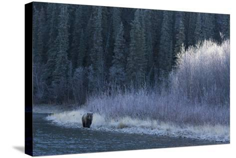 A Grizzly Bear Fishes at the Fishing Branch River-Cristina Mittermeier-Stretched Canvas Print