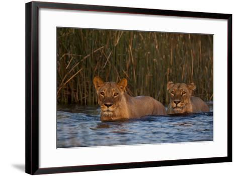 Two Lionesses Crossing a Spillway at Sunset-Beverly Joubert-Framed Art Print