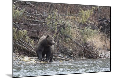 A Grizzly Bear Fishes at the Fishing Branch River-Cristina Mittermeier-Mounted Photographic Print