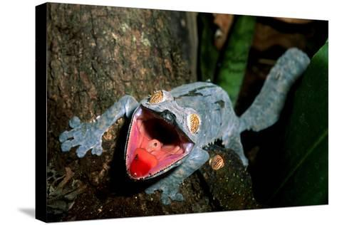 Close Up Portrait of a Leaf-Tailed Gecko, Uroplatus Species-Cagan Sekercioglu-Stretched Canvas Print