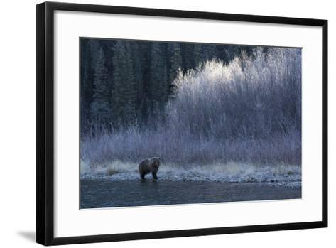A Grizzly Bear Fishes at the Fishing Branch River-Cristina Mittermeier-Framed Art Print