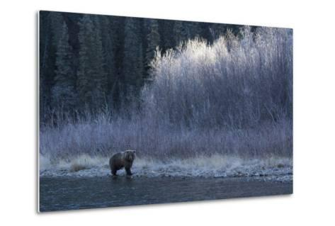 A Grizzly Bear Fishes at the Fishing Branch River-Cristina Mittermeier-Metal Print