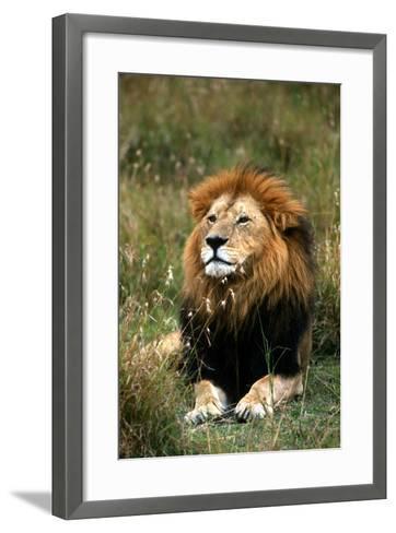 Portrait of a Male Lion, Panthera Leo-Cagan Sekercioglu-Framed Art Print