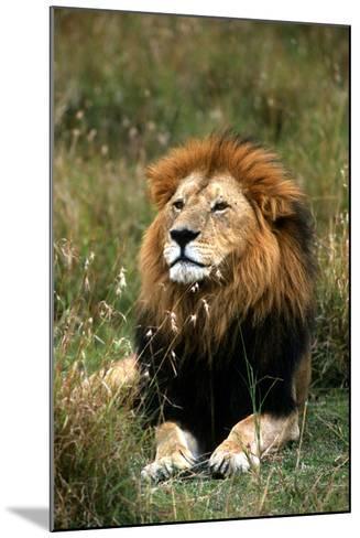 Portrait of a Male Lion, Panthera Leo-Cagan Sekercioglu-Mounted Photographic Print