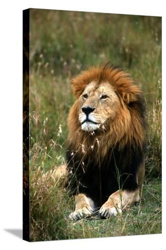 Portrait of a Male Lion, Panthera Leo-Cagan Sekercioglu-Stretched Canvas Print