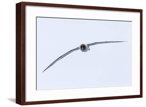 A Light-Mantled Albatross in Flight in the South Shetland Islands, Antarctica-Ralph Lee Hopkins-Framed Art Print