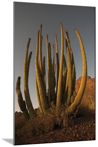 Organ Pipe Cacti at Sunset-Bill Hatcher-Mounted Photographic Print