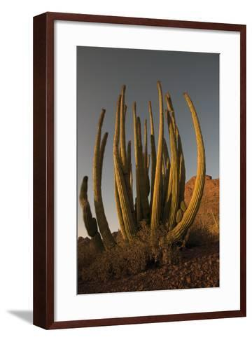 Organ Pipe Cacti at Sunset-Bill Hatcher-Framed Art Print