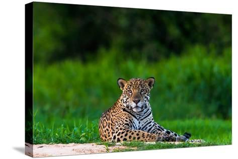 A Portrait of a Wild Jaguar Resting on the Banks of the Cuiaba River, in the Pantanal-Steve Winter-Stretched Canvas Print