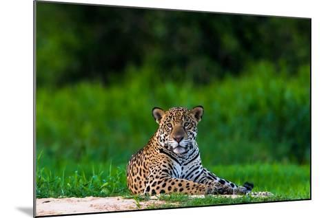 A Portrait of a Wild Jaguar Resting on the Banks of the Cuiaba River, in the Pantanal-Steve Winter-Mounted Photographic Print