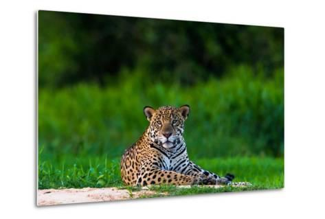 A Portrait of a Wild Jaguar Resting on the Banks of the Cuiaba River, in the Pantanal-Steve Winter-Metal Print