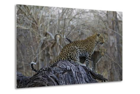 A Leopard and Her Cub Sitting on and Fallen Tree and Looking Around-Beverly Joubert-Metal Print