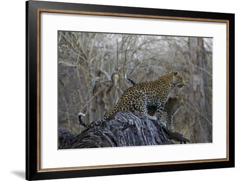 A Leopard and Her Cub Sitting on and Fallen Tree and Looking Around-Beverly Joubert-Framed Art Print